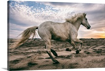 The white horses of the Camargue on the beach in the South of France
