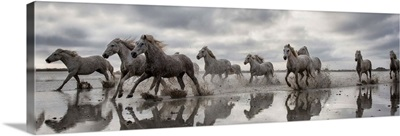 The White Horses of the Camargue running in the water
