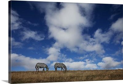 Two Zebras grazing