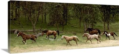 Western Horses running, near Yosemite, California