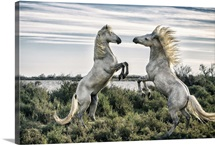 White Camargue horse stallions fighting by the water in the South of France