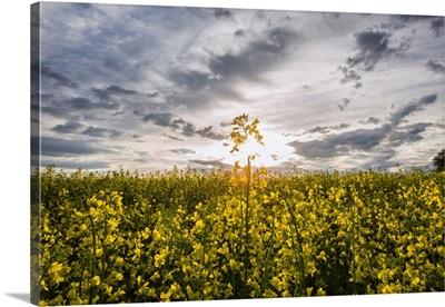 Yellow Cannola Fields in the Palouse, Washington