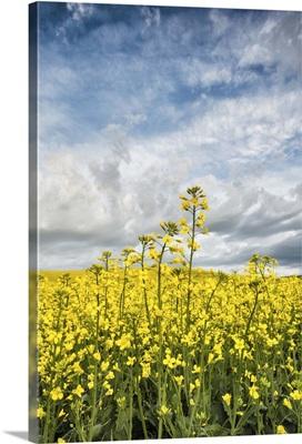Yellow Canola Fields in the Palouse, Washington
