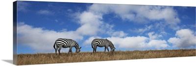 Zebras grazing in Kenya, Africa