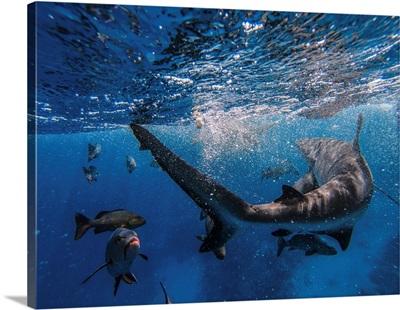 Sharks Feeding On The Great Barrier Reef, Australia