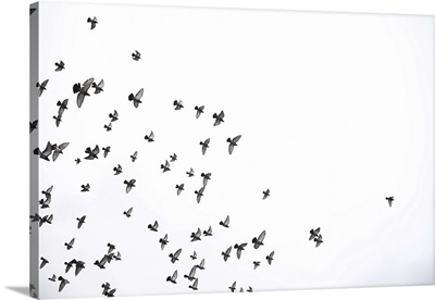 A Flock Of Pigeons Flies Across The Sky