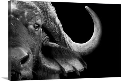 African Cape Buffalo - black and white photograph