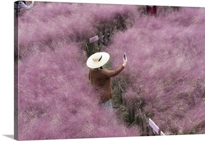 Beautiful Pink Hairawn Muhly Landscape, Republic Of Korea