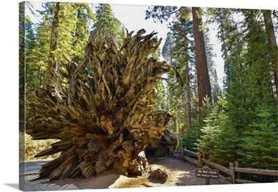 Beautiful View Of Giants Sequoias In Mariposa Grove Park, Wawona, California