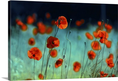 Blooming Red Poppies In A Field In Spring