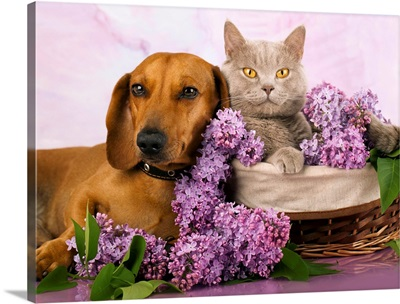 Cat and dog laying together with lilacs