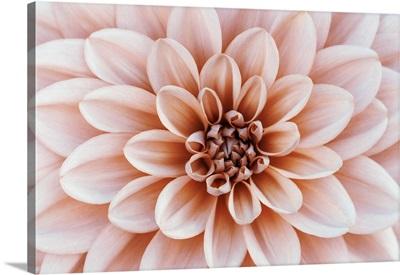 Close Up Of Flower Dahlia, Soft Focus