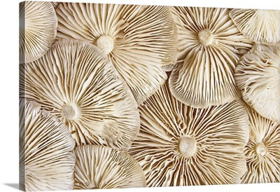 Close-Up View Of The Underside Of Pile Clitocybe Mushrooms