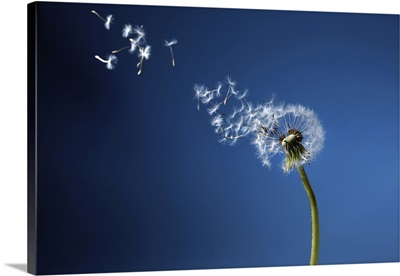 Dandelion With Seeds Blowing Away In The Wind In Blue Sky