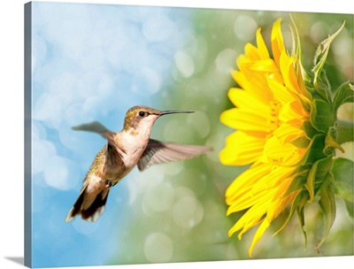 Dreamy image of a Hummingbird next to a Sunflower