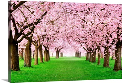 Gorgeous Cherry Trees in Full Blossom