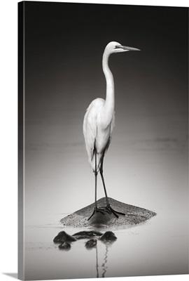 Great White Egret On Hippopotamus