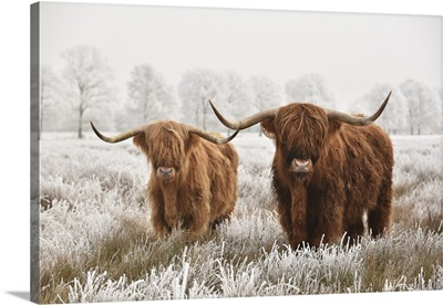 Hairy Scottish Highlanders In Winter, The Netherlands