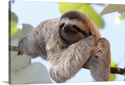 Happy Sloth Hanging On A Tree