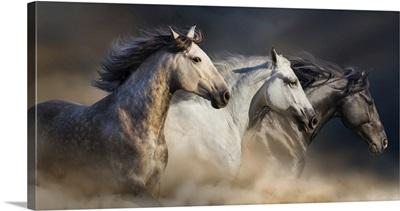 Horses Gallop In Desert Dust