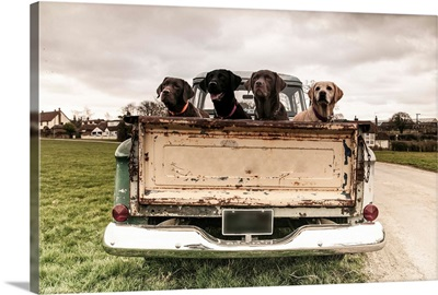 Labrador dogs in the back of a vintage truck