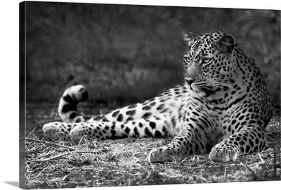 Leopard - black and white photograph