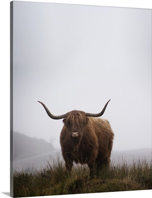 Lone Highland Cow, Isle Of Skye, Scotland