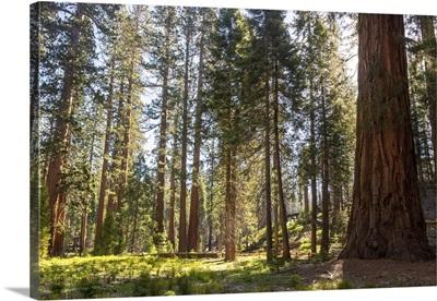 Mariposa Grove, Yosemite National Park, California