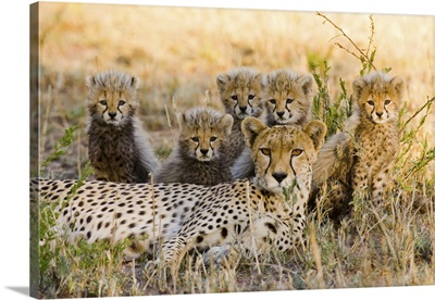 Mother Cheetah And Her Cubs In The Savannah, Maasai Mara, Kenya