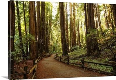 Muir Woods National Monument Near San Francisco In California