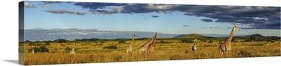 Panorama Of Giraffes In Ruaha National Park In Tanzania