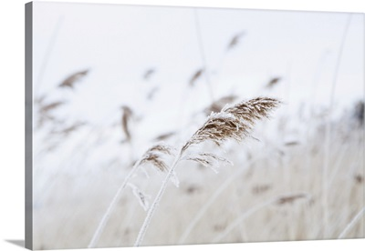 Reeds On The Shoreline In Winter On An Overcast Day, Finland