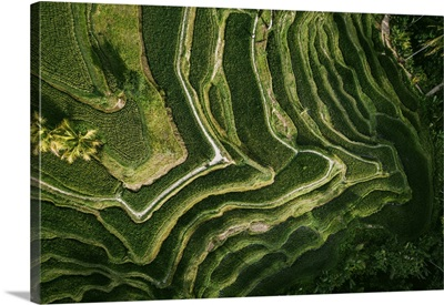 Rice Fields And Rice Terrace, Tegalalang, Bali, Indonesia, Southeast Asia