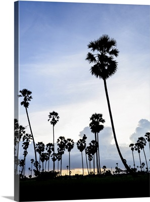 Silhouette Picture Of Sugar Palm At Sunset