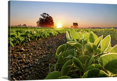 Soybean Field And Soy Plants In Early Morning, Soy Agriculture