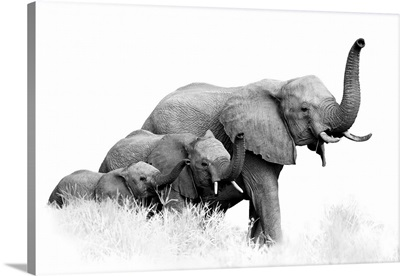 Three African Bush Elephants, Loxodonta Africana