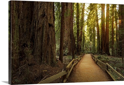 Trail Through Redwoods In Muir Woods National Monument Near San Francisco, California