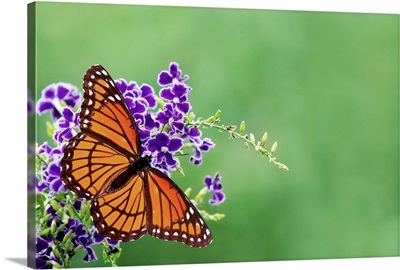 Viceroy butterfly on blue flowers.