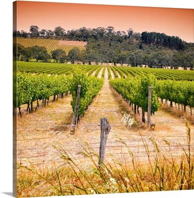 Vineyard in Australia