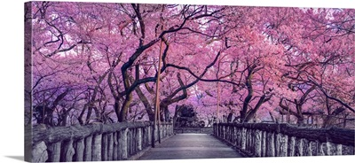 Wooden Bridge In Park, Japan, Spring Countryside With Amazing Sakura (Cherry) Blossoms