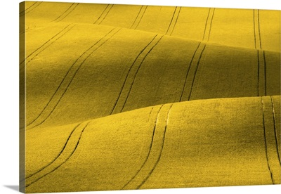 Yellow Rapeseed Field With Stripes In A Wavy Abstract Pattern