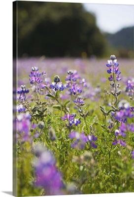 A Field of Purple Flowers