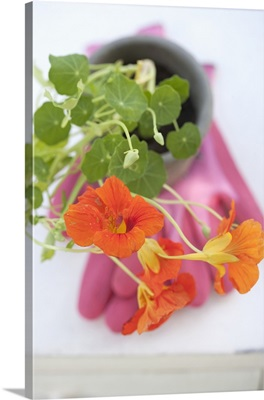 A flowering nasturtium in a flower pot on top of a rubber glove