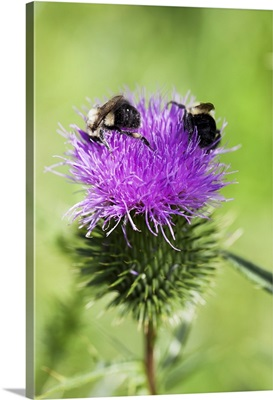 Blooming thistle with bees