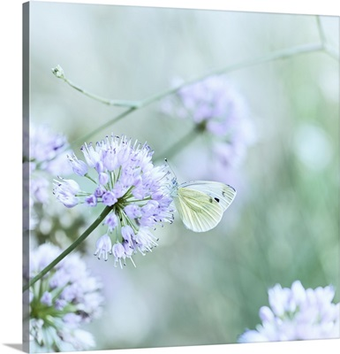 Butterfly on chive flower (close up)