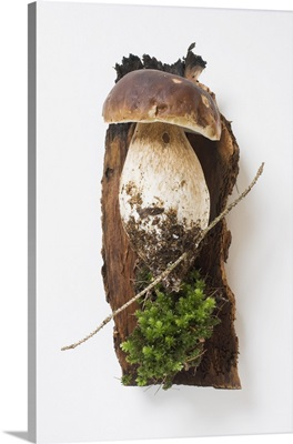 Cep with soil and moss on tree bark
