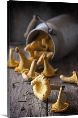 Chanterelle mushrooms spilling out of an overturned milk churn