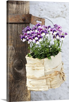 Flowering purple and white horned violets in small pot