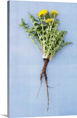 Fresh dandelions with roots