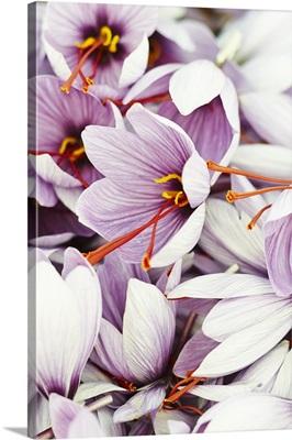 Lots of saffron crocuses